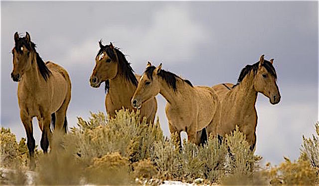 The Obama BLM protecting our wild horses